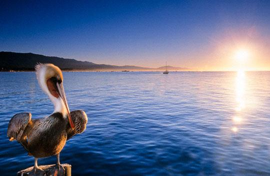 o-pelicano